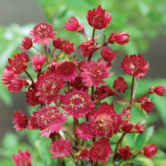 Lilled, Tähtputk, Suur Tähtputk, Ruby Wedding