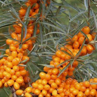 Viljapuud ja Marjapõõsad, Astelpaju, Firestone Orange