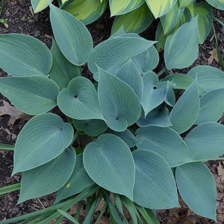Lilled, Hosta, Bullet Proof