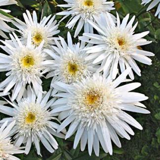 Lilled, Härjasilm, Suureõieline Härjasilm, Christine Hagemann