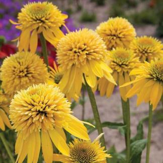 Lilled, Siilkübar, Purpur-siilkübar, Eccentric Yellow