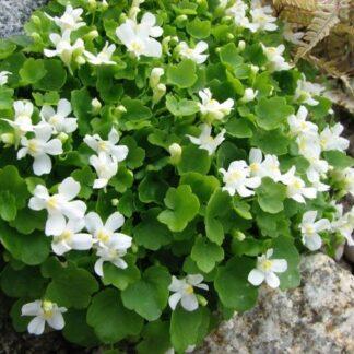 Lilled, Müürilill, Harilik müürilill, Globosa Alba