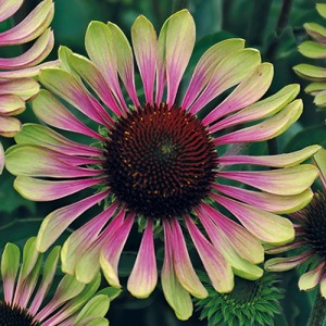 Lilled, Siilkübar, Purpur-Siilkübar, Green Twister