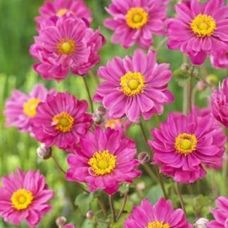 Lilled, Ülane, Hübriidülane, Margarete