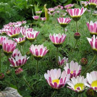 Lilled, Vähelevinud, Neitsi-ringlill