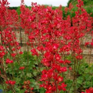 Lilled, Helmikpööris, Väri-helmikpööris, Pluie de Feu