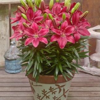 Lilled, Liilia, Aasia Liilia, Fantasiatic Raspberry