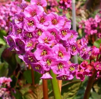 Lilled, Bergeenia, Südajalehine bergeenia, Rotblum