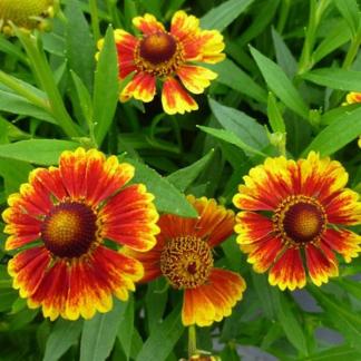 Lilled, Heleenium, Sügisheleenium, Salud Embers