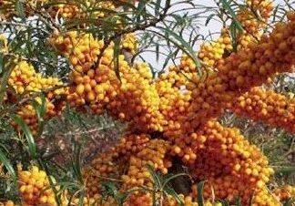 Viljapuud ja Marjapõõsad, Astelpaju, Eva