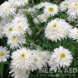 Lilled, Härjasilm, Suureõieline Härjasilm, Sante