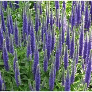 Lilled, Kassisaba, Blue