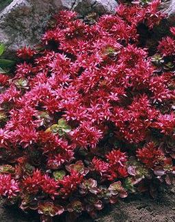 Lilled. Kukehari, Roomav Kukehari, Fuldaglut
