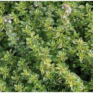 Lilled, Liivatee, Sidrun-liivatee, Limone