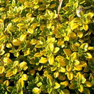 Lilled, Liivatee, Sidrun-liivatee, Mystic Lemon