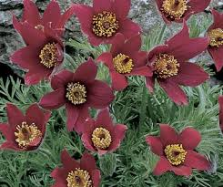 Lilled, Karukell, Harilik karukell, Rubra
