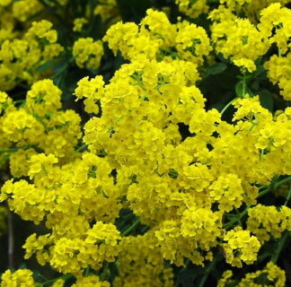Lilled, Vähelevinud, Kalju-kuldkilbik, Golden Queen