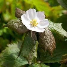 Lilled, Vähelevinud, Himaalaja jalgleht
