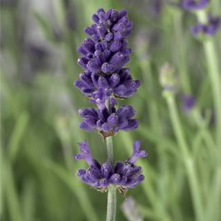 Lilled, Lavendel, Tähklavendel, Blue & White Scent Early
